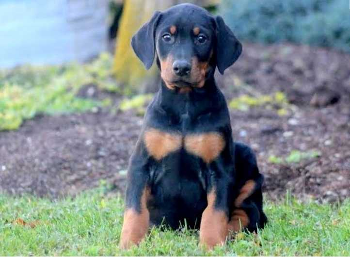 Adorable doberman puppies for sale
