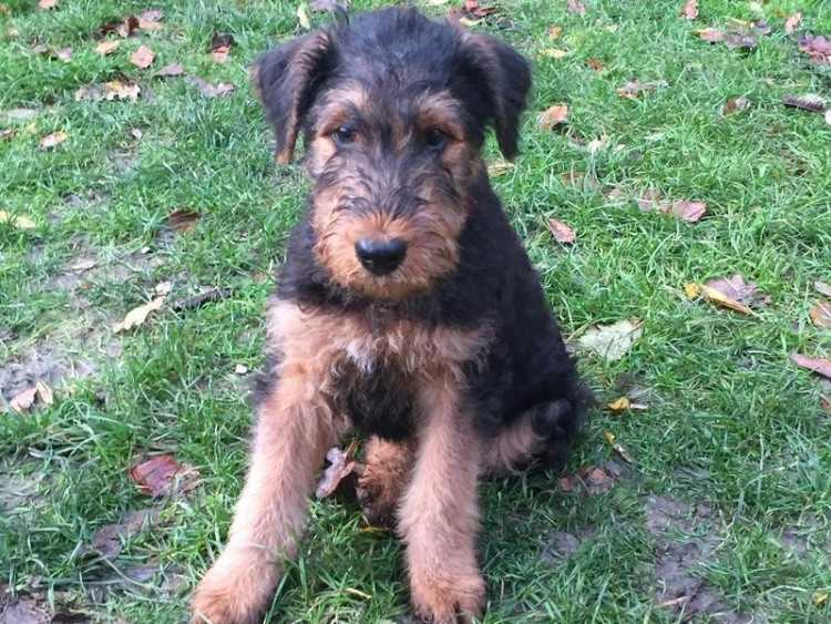 Adorable Airedale Puppies..