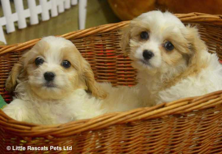 Playful Cavachon puppies